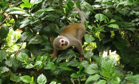 A curious squirrel monkey
