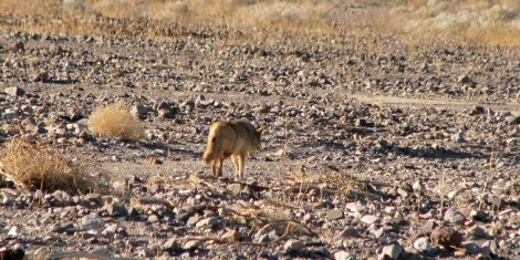 a coyote next to the road