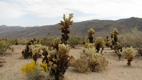 Cholla Cactus Garden 1.