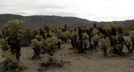 Cholla Cactus Garden 2.