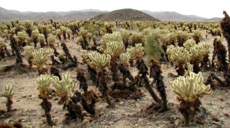 Cholla Cactus Garden 3.