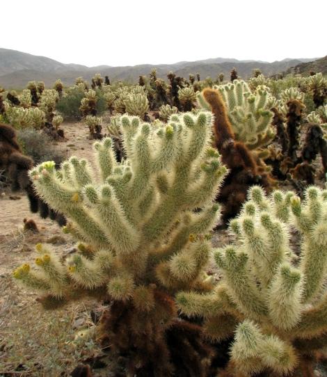 Cholla Cactus Garden 4.